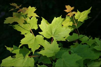 Maple leaves, Kingston, Ontario