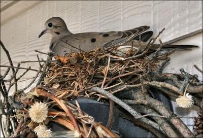 Dove Nesting in the wreath by the back door