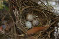 Cardinal eggs, Spring 2007, in one of our back yard bushes