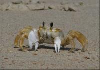 Sand Crab - Pony Island, NC