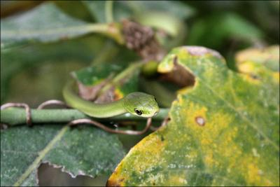 Rough green snake - Opheodrys aestivus - nonvenomous, Coppell, Texas