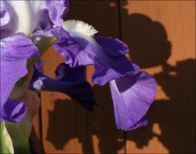 Bearded Iris blooming in December - Lewisville, Texas
