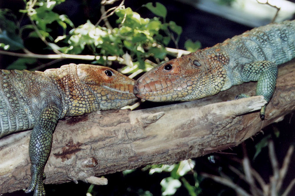 Lizard Love, Fort Worth Zoo, Texas USA, 11 X 14 inch photograph