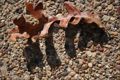 Oak leaf, photography January 2008