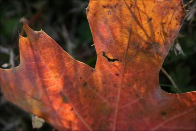 What Oak leaves do in January