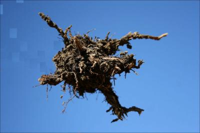 Sky Diver - Basil stem and roots - Photography, digital manipulation