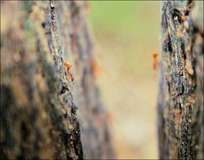 Fire Ants feeding on tree sap - photography - Coppell, Texas