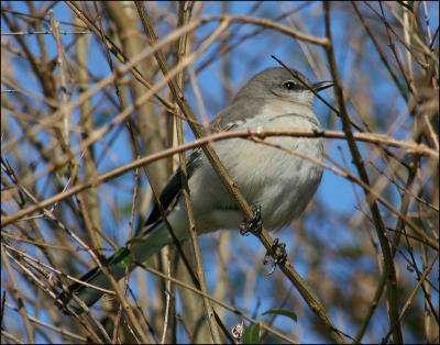 Mockingbird - Lewisville, Texas