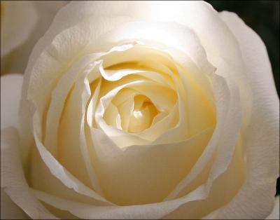 One of the creamy white Valentine's Day roses.