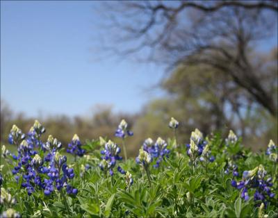 Bluebonnets, Coppell, Texas