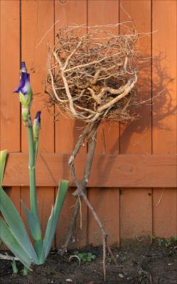 Impatience - Croton plant roots; whimsical garden sculpture, Bearded Iris