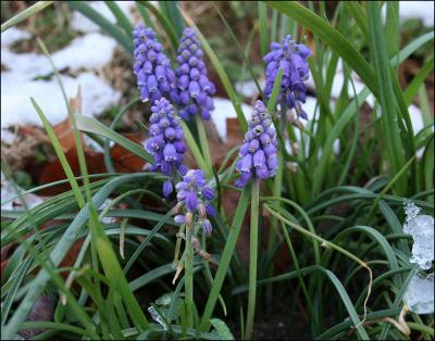 Grape Hyacinth, March snowfall