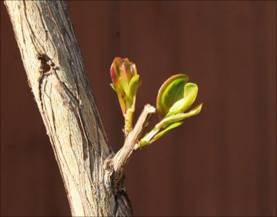 Emerging Myrtle leaves, early Spring