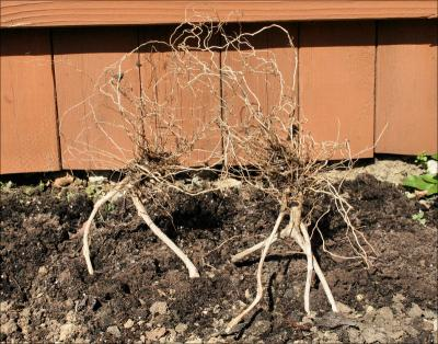 The Twins - garden sculptures of upside-down root systems