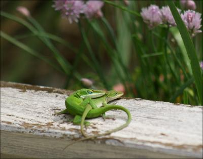 Green Anoles mating