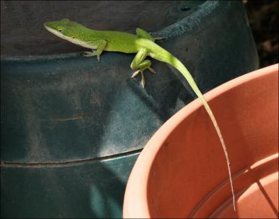 Green Anole, male
