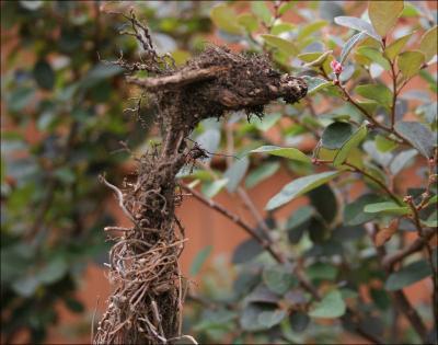 Giraffe - Thyme roots