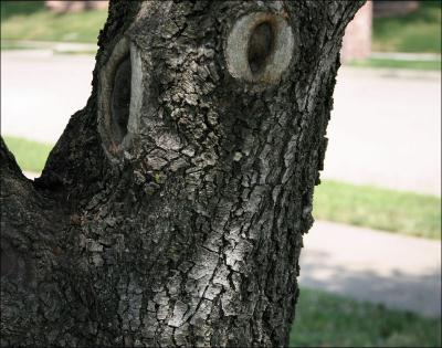 Happy Face - Pecan tree, Lewisville, TX -photography