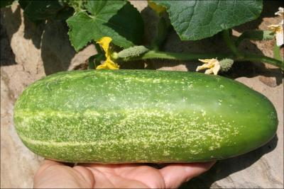 A cucmber that grew from 1/2 long to 8 inches X 3 inches wide in two weeks.