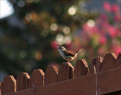 Carolina Wren singing about his or her new territory