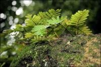 Ferns thrive all over the branches of the Angel Oak and support smaller life forms.