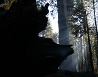 Mariposa Grove, Sequoia National Forest, central California..forest fire still smouldering in October 2008