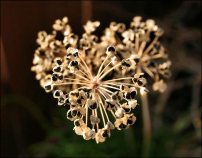Garlic Chive seeds, heart-shaped growth