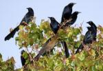 Grackles, Rockbrook Drive, one female and seven males, Lewisville, Texas