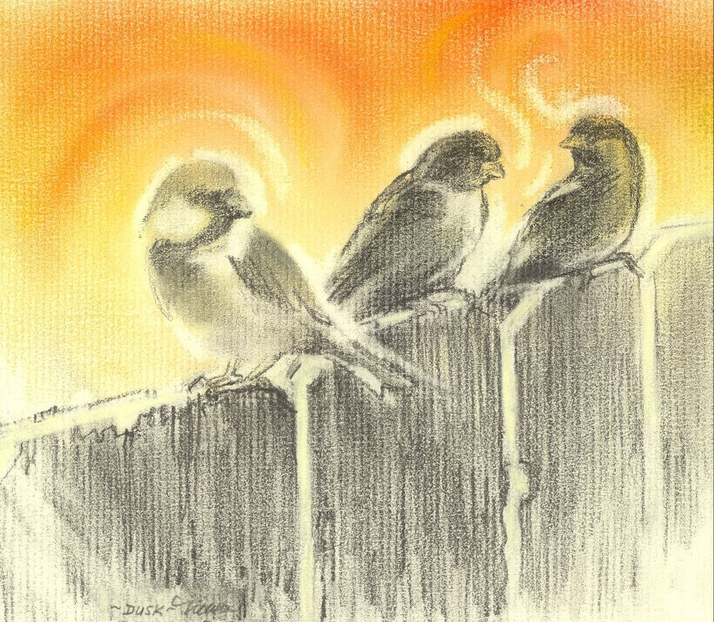 Dusk, singing sparrows, 8 x 10 inch graphite and dry pastels on charcoal paper, cards available only