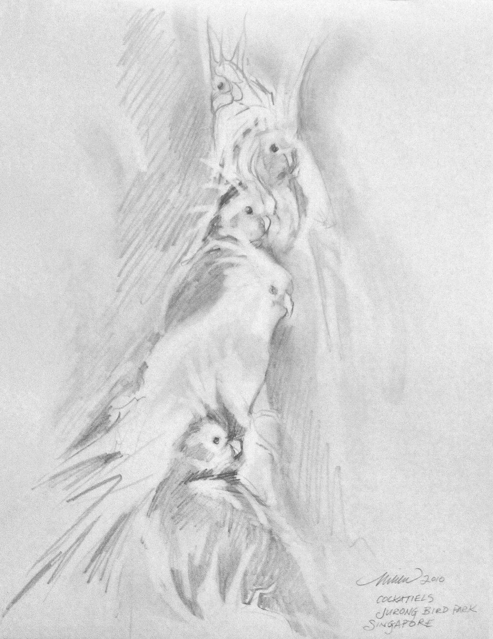 Cockatiels, Jurong Bird Park, Singapore 12H x 9W inches graphite on paper, white double mat and white 18H x 15W inches frame with crackle finish