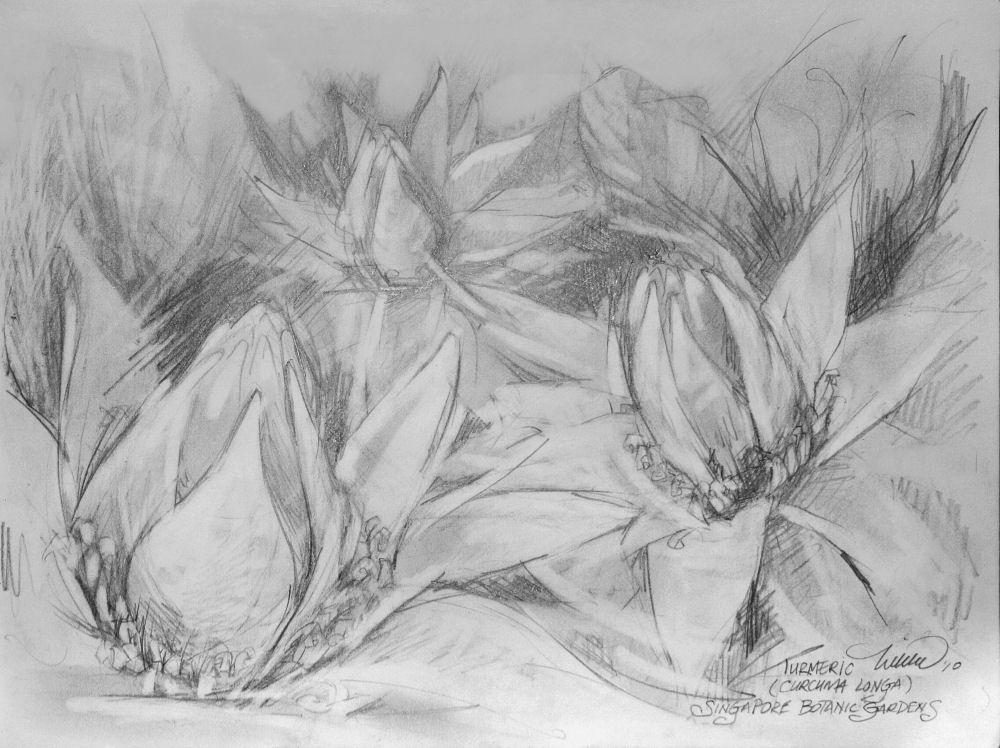 Turmeric Blossoms, 9H x 12W inches graphite on paper