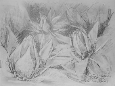 Turmeric, 9 x 12 inches graphite on paper