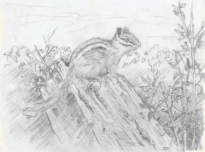 Chipmunk by Jim Drury, graphite on paper