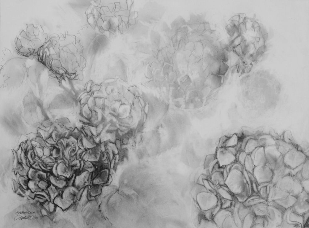 Blue Hydrangea, 18 x 24 inches graphite on 80 lb premium
