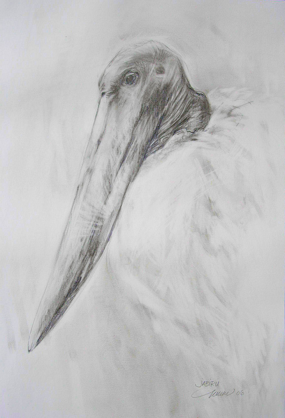 Jabiru at the Dallas World Aquarium, 24H x 18W inches graphite on paper