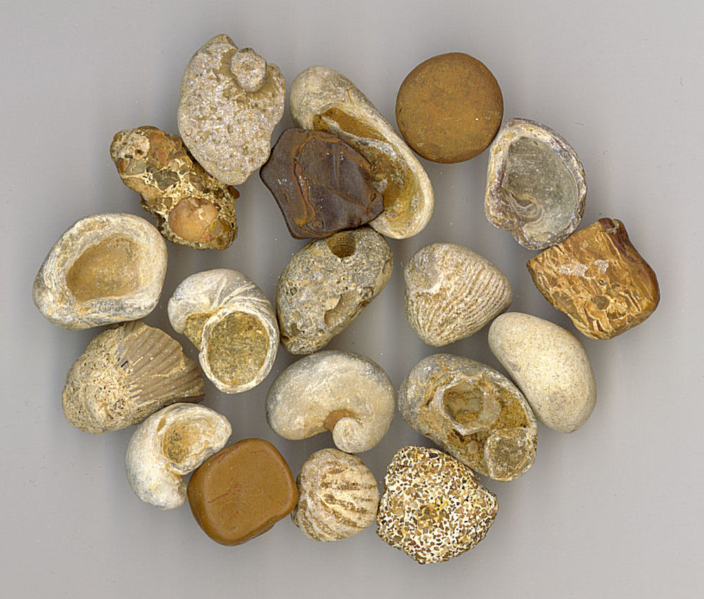 Myalina Fossils I found in Dallas, Texas USA