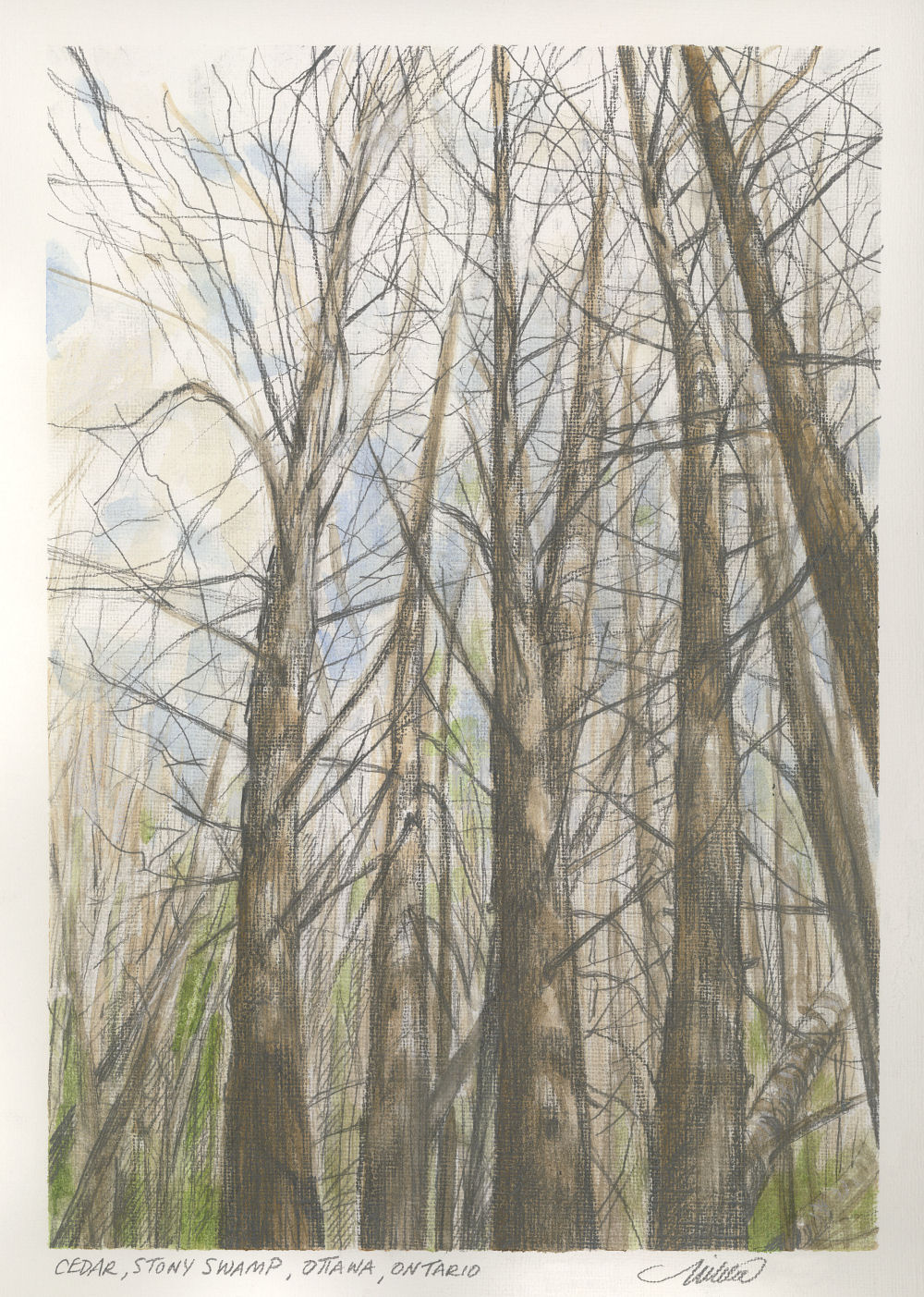 Cedar, Stony Swamp Ottawa, ON, Canada 12H x 9W inch watercolor and graphite on 40lb cold-pressed premium