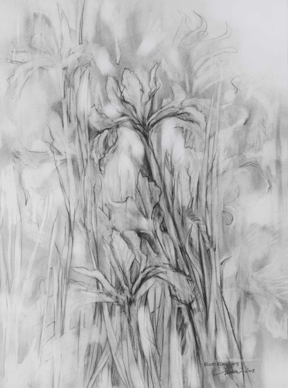 Blue Flag Iris, 24H x 18W inches graphite on paper